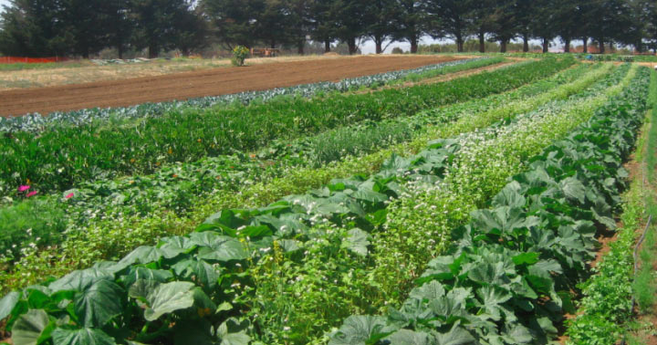 Photo of healthy row crops on a farm
