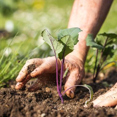 Farmer hands in dirt transplanting starts