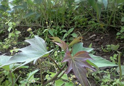 Photo of sweet potato plant