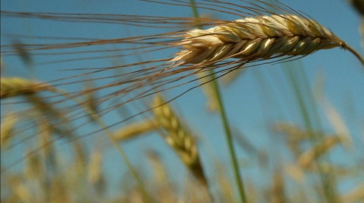 Photo of a grain of wheat in a wheat field