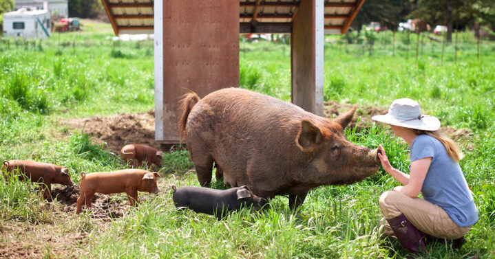 Photo of April Jones tending pigs on April Joy Farm
