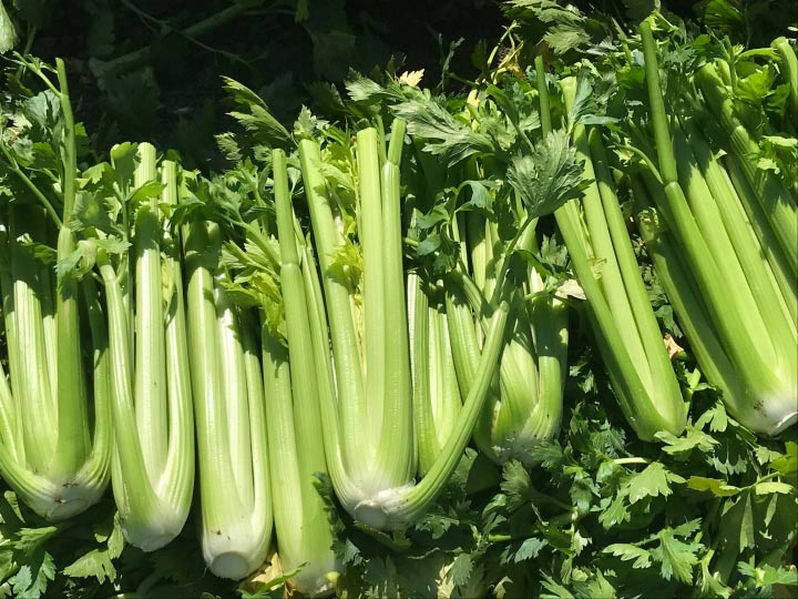 Photo of bunches of celery at Lakeside Organic Gardens