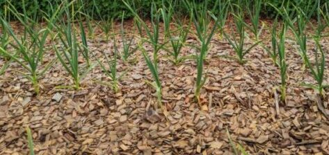 new growth in mulched field