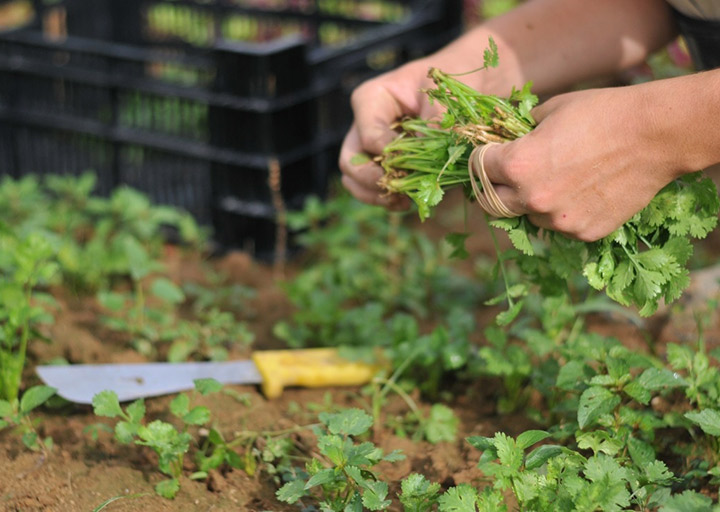 Photo of worker harvesting parsley on Barr Farms