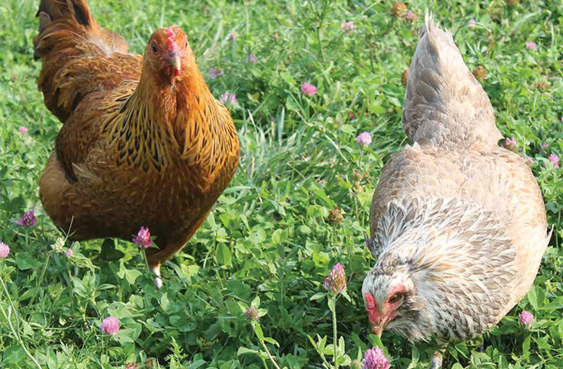 Building Healthy Living Soils for Successful Organic Farming in the Southern Region photo of chickens